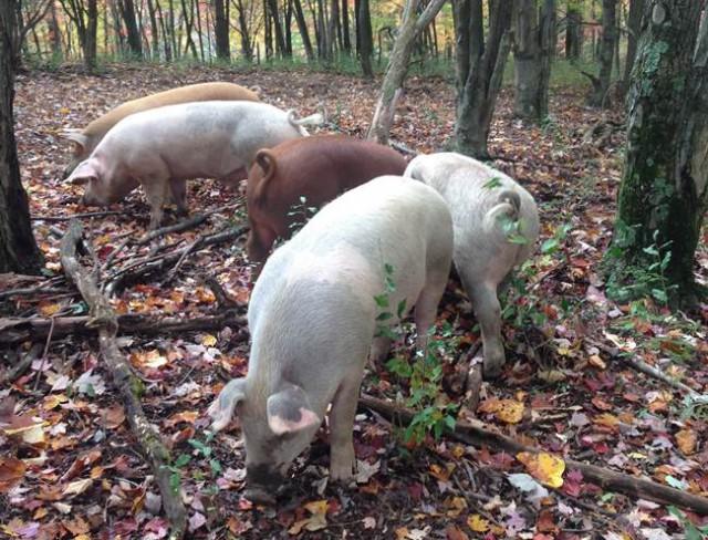 ファームステイ先の豚