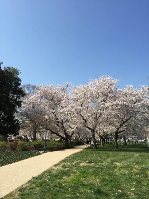 アメリカ ワシントンDCの桜
