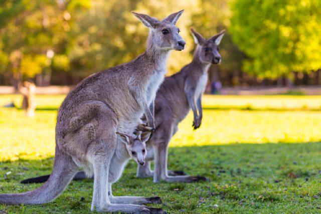 オーストラリアのカンガルー