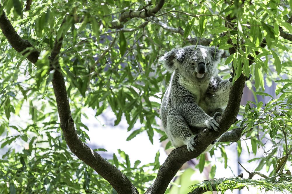 オーストラリア ブリスベンのコアラ