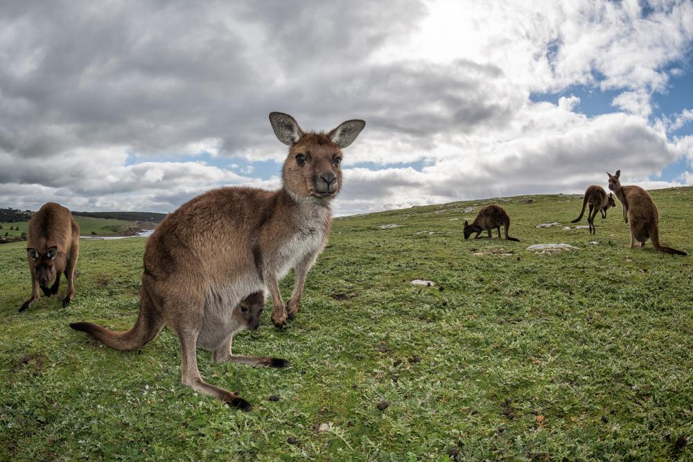 オーストラリア アデレードのカンガルー島