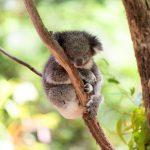 ローンパイン・コアラ・サンクチュアリでコアラに会う
