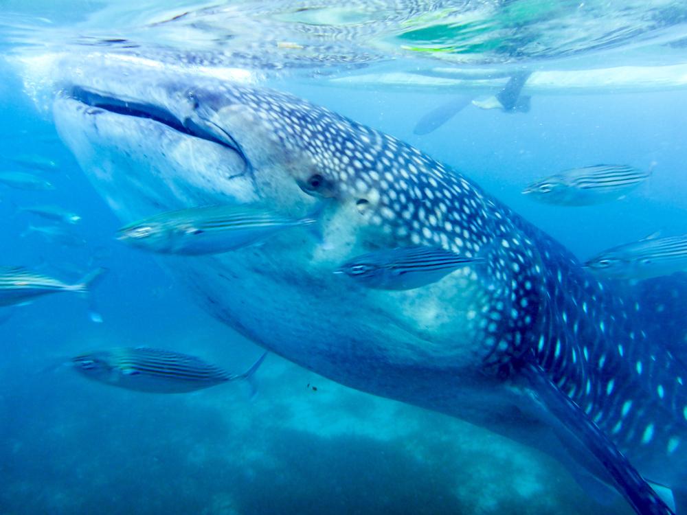 セブ島オスロブのジンベイザメ