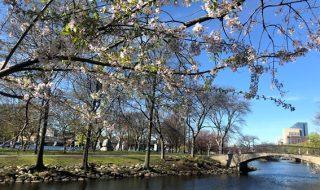 アメリカ ボストンの桜